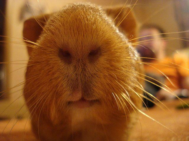 guinea-pig Tupla