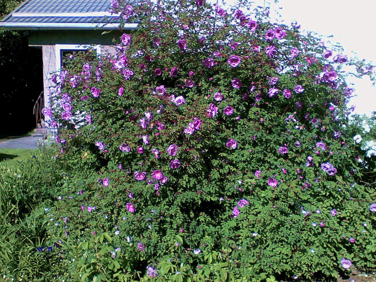 Poppius ruusu kukkii kesällä 2010