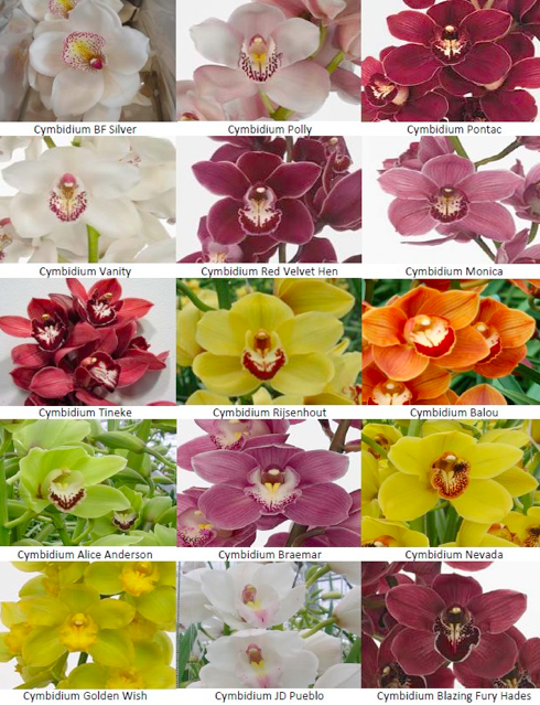 Wce Which Orchid Color Do We Like A Member Can Order Any Of These For Us Wholesale Orchid Varieties Cymbidium Orchids Colorful Flowers