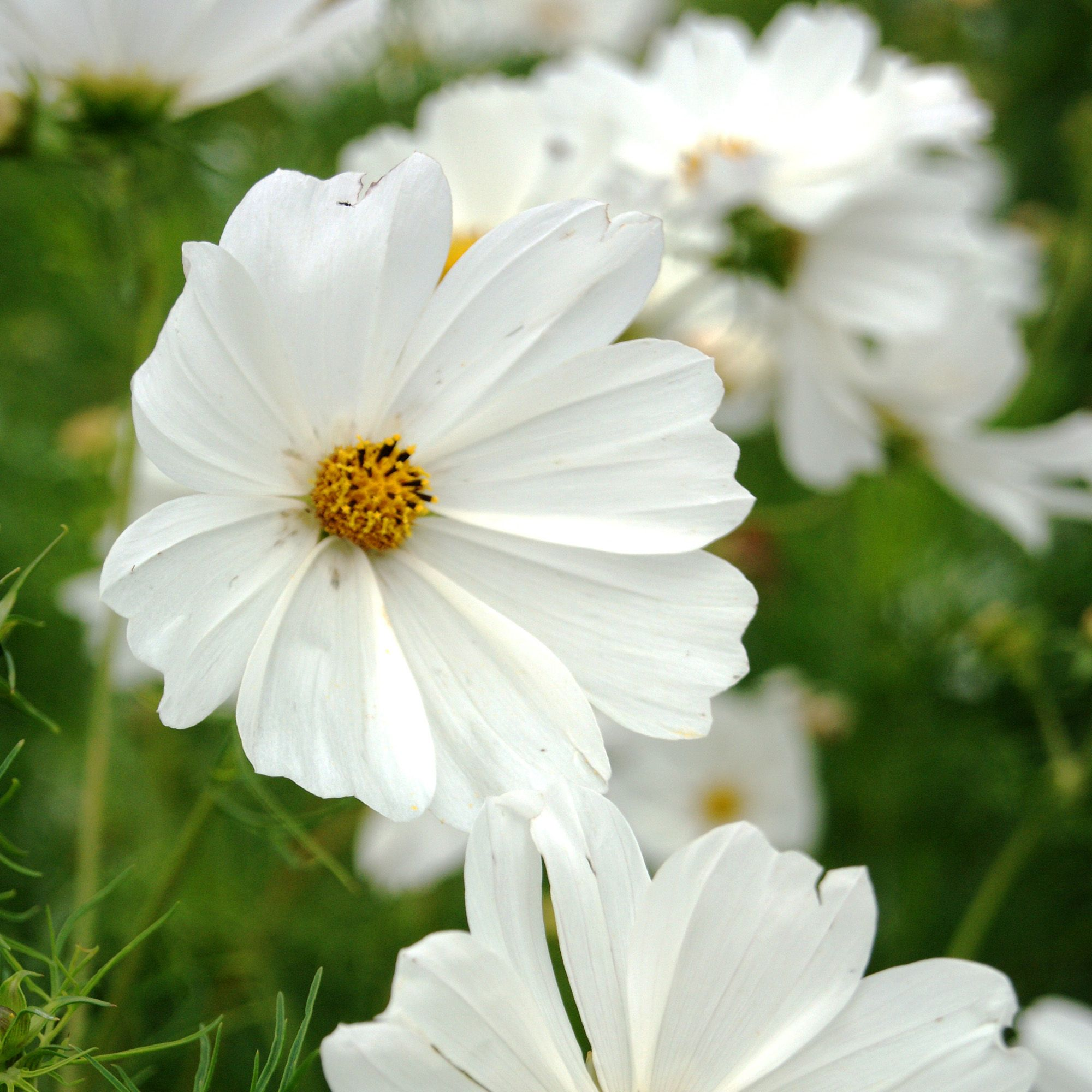 Cosmos Seeds Cosmos Bipinnatus Sensation Purity Flower Seed In 2020 Flower Seeds Cosmos Flowers