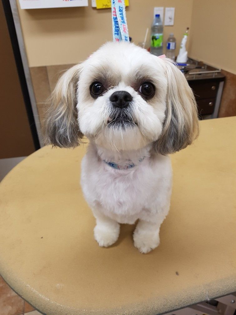 Pin On Shih Tzu Puppy Cut