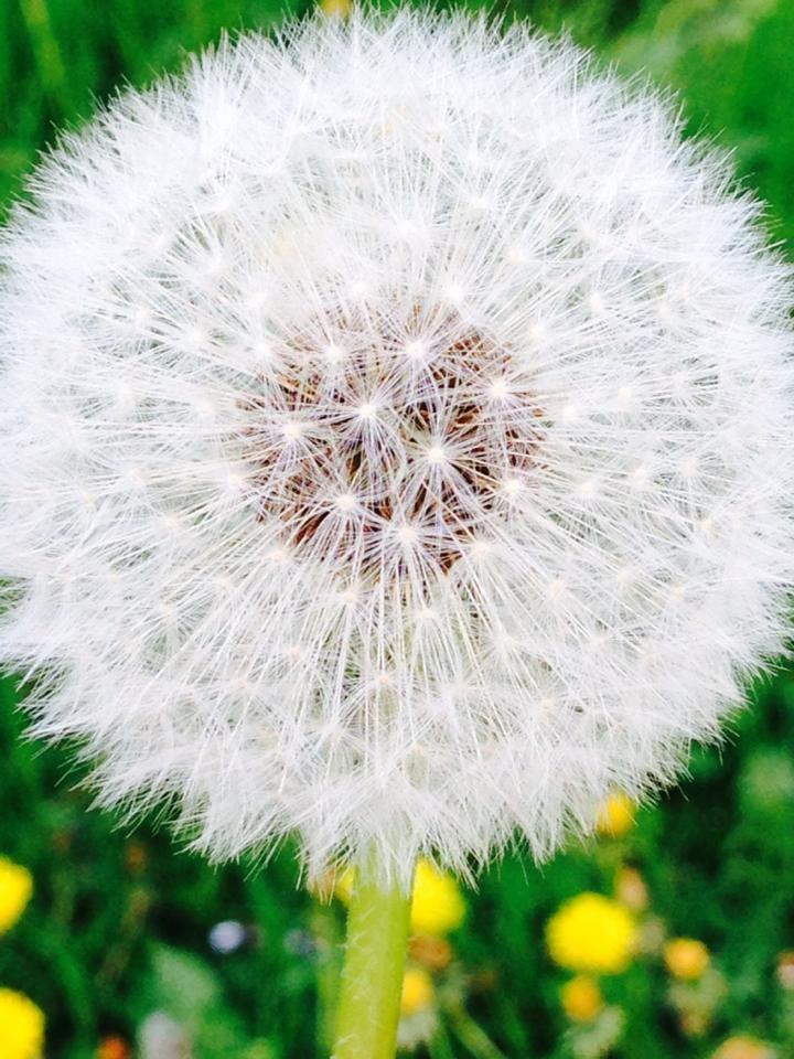 Pusteblume Englischer Garten Lowenzahn Kindheitserinnerungen
