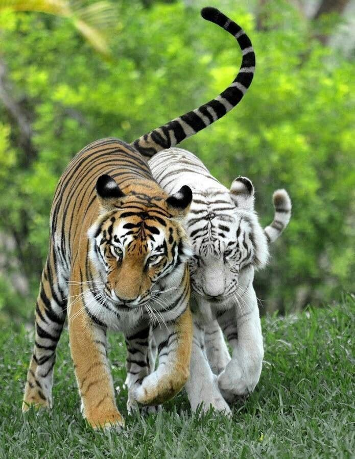 Normal Tiger and an albino walking together | Animals ...