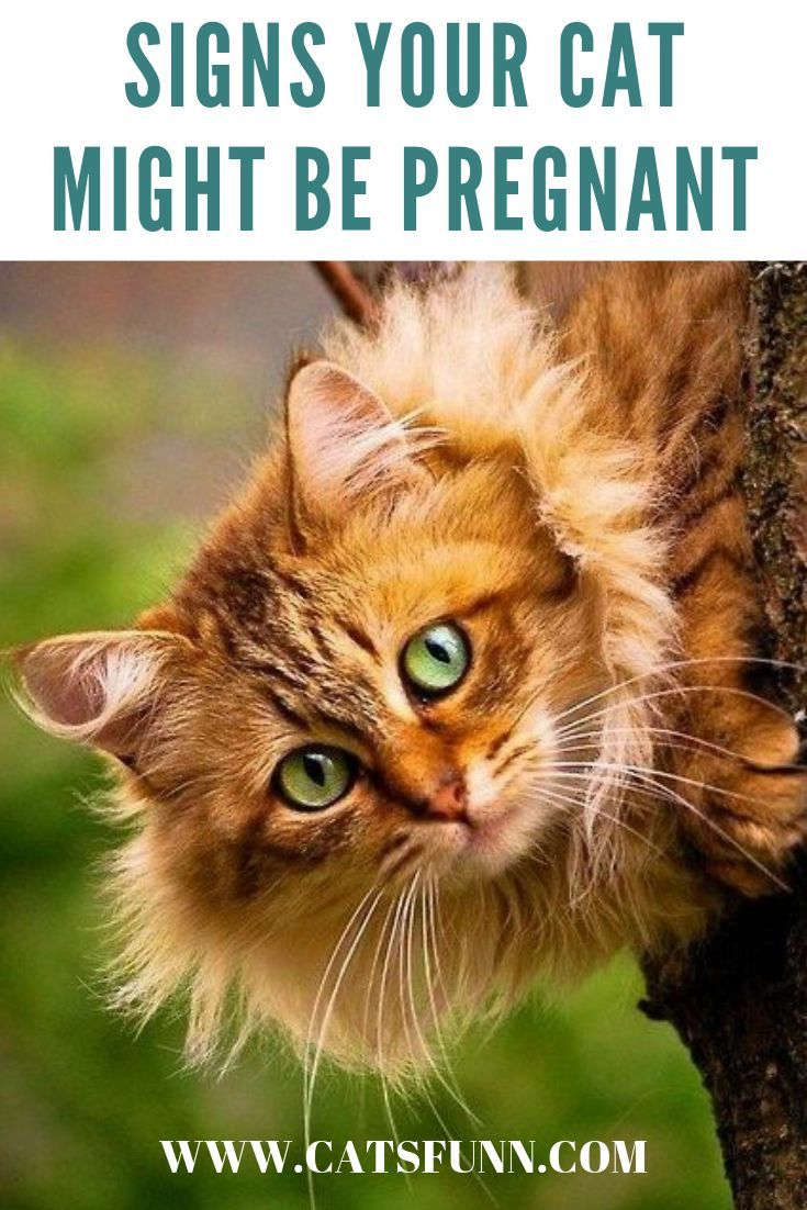 how to tell if a cat is pregnant or nursing