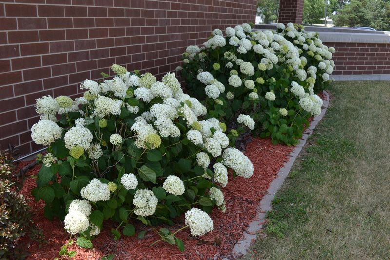 Annabelle Hydrangea Is A Deciduous Flowering Shrub With White Flower