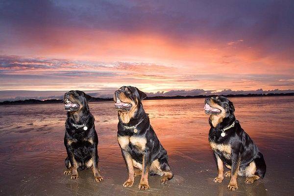 Sunset Rottweilers Rottweilers Rottweiler Love Rottweiler Best