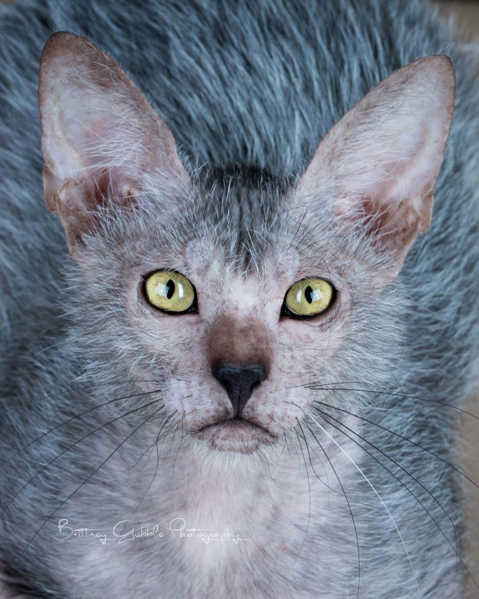 Breeding Lykoi | Lykoi Cats ~ The Original Lykoi Breeder | Cats ...