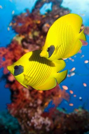 Golden butterflyfish on a reef Read Sea