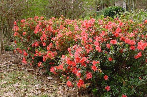 Autumn Coral™ | Encore® Azalea: The world's best-selling ...