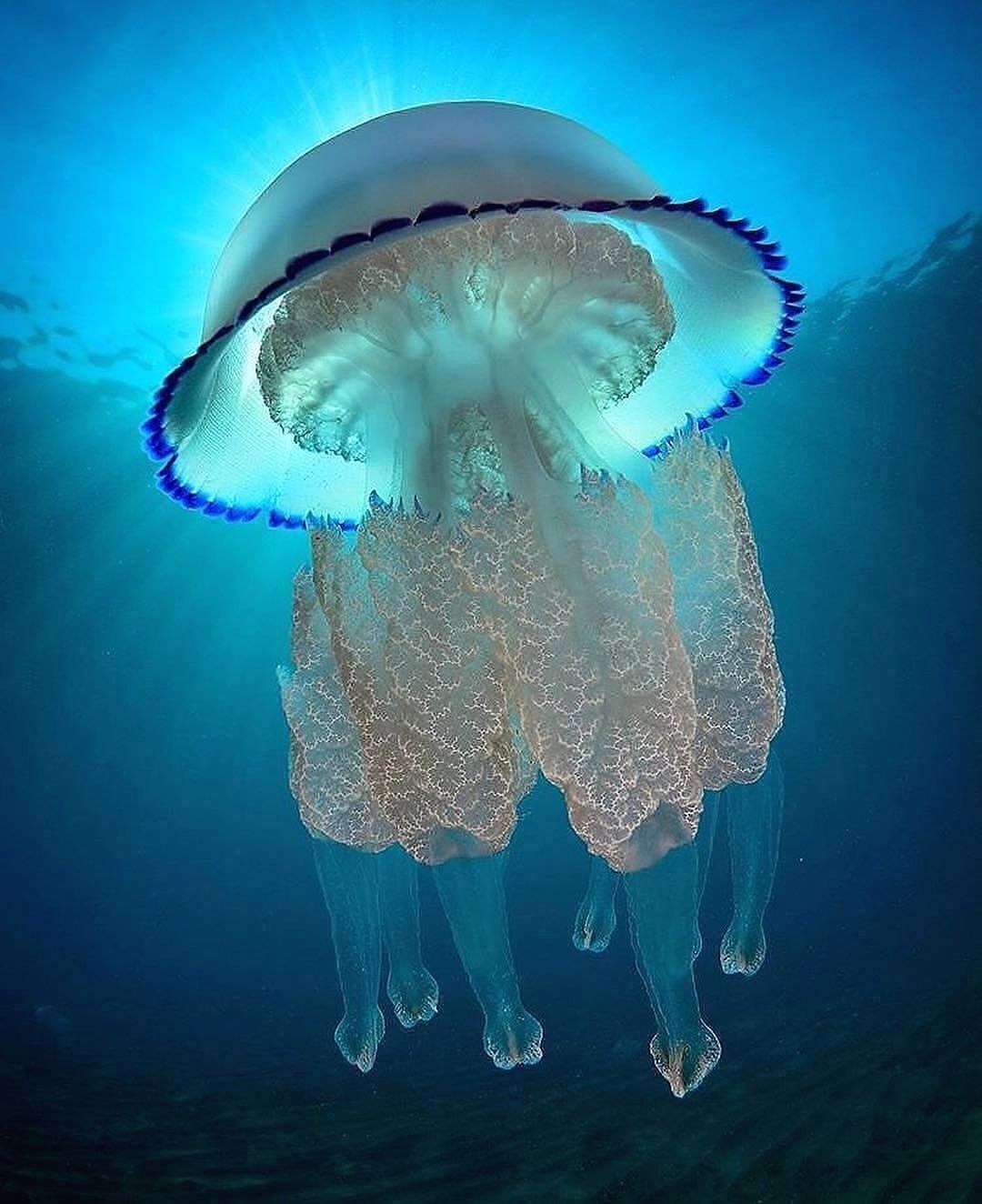 eet the SHIFF ARMS JELLYFISH! (Or barrel jellyfish