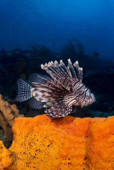 Lionfish Sponge Lion Fish Marine Animals Beautiful Creatures