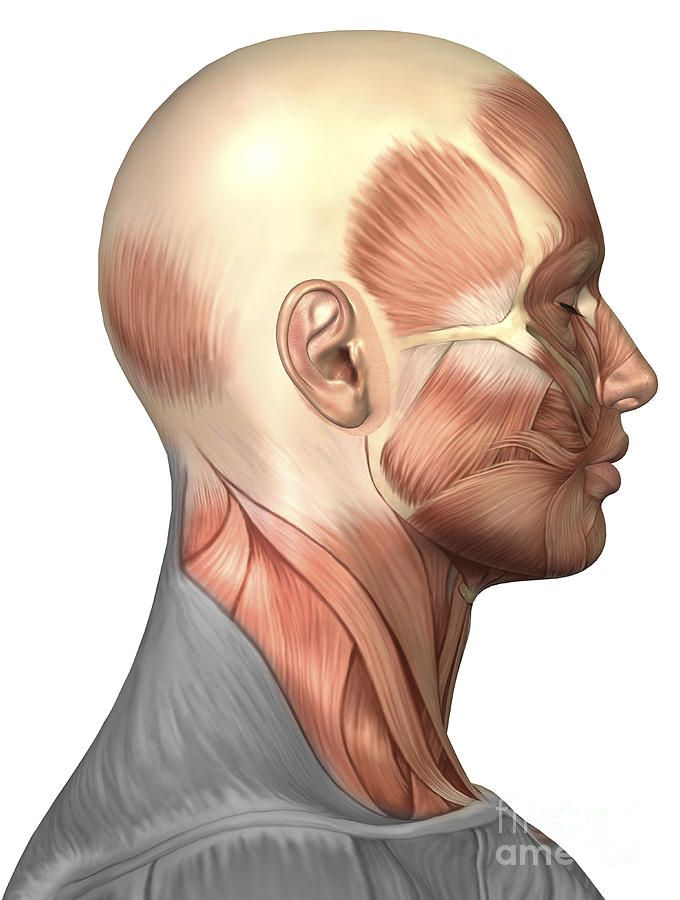 anatomy of human face muscles, side | anatomy and anatomy art, Muscles