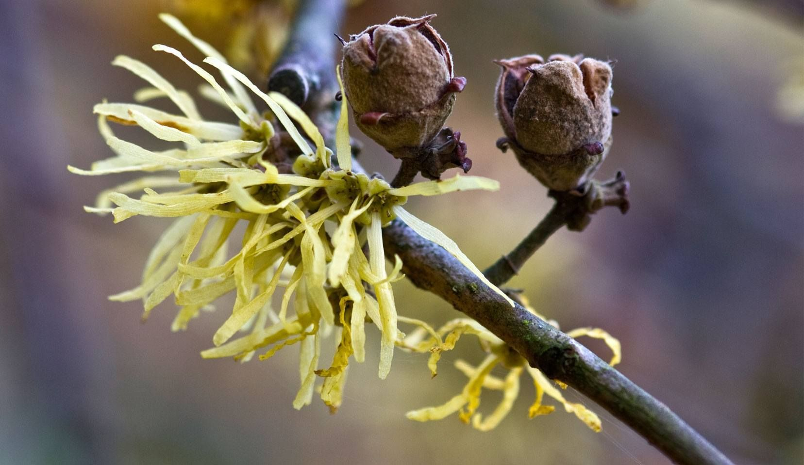 Witch Hazel Is One Of The Key Plants In Dr Hauschka Skin Care Dr