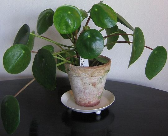 chinese money plant pilea peperomioides pinterest plantes et jardins. Black Bedroom Furniture Sets. Home Design Ideas