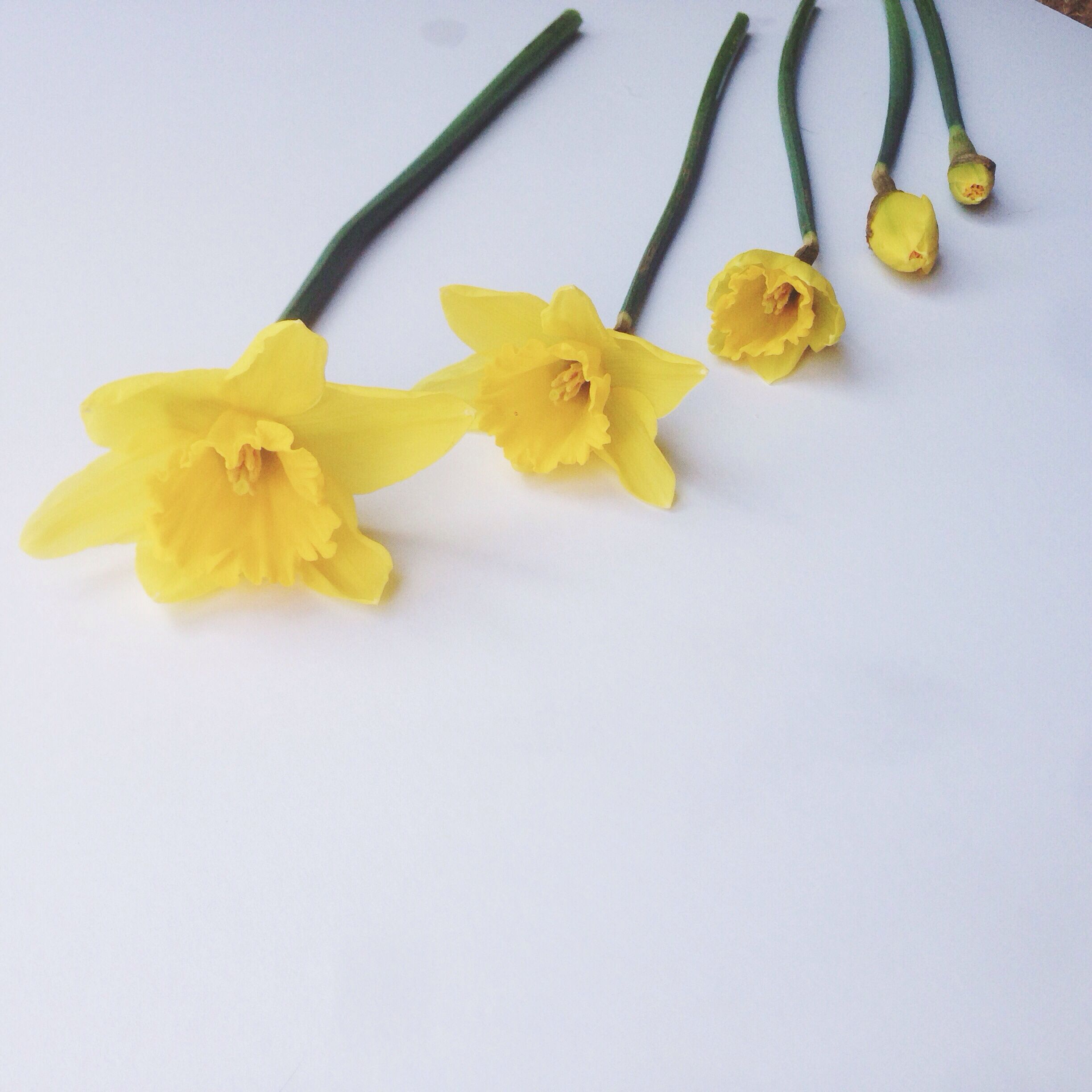 Daffodil Life Cycle Bloom Daffodils Color Collection