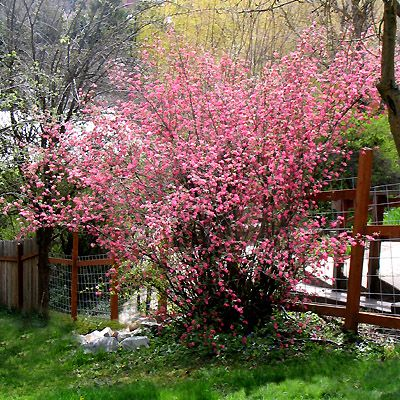 Ribes sanguineum in flower in early spring backyard pinterest ribes sanguineum in flower in early spring mightylinksfo Image collections