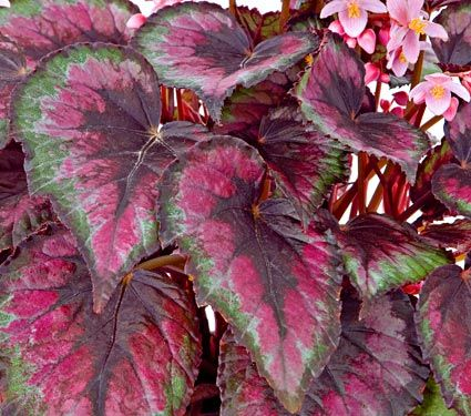 Begonia Rex Tango White Flower Farm Partial Shade Plants Shade Plants Container