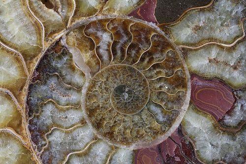 Macro fósil amonita. Foto: John Bowling