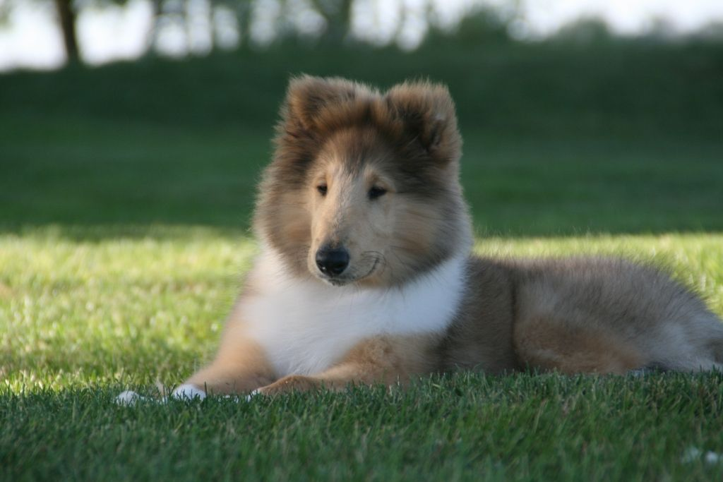 Awww What A Pretty Fluffy Collie Sheltie Dogs Dog Angel Rough Collie