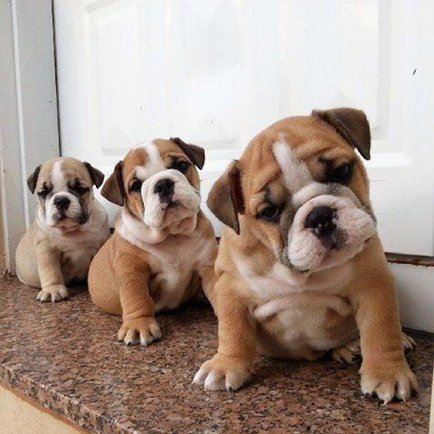 Baggy Bulldogs Look At Thoes Faces Puppies Bulldog Puppies