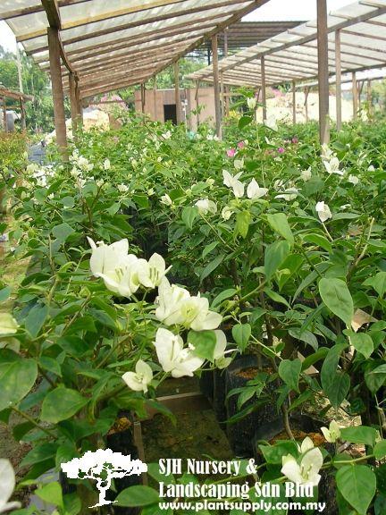 C010401bougainvillea Singapore White Whole Plant Nursery Supplies Plants Climbers