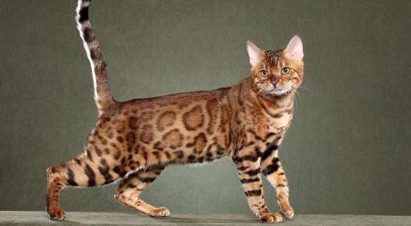 Top 10 Most Expensive Breeds Of Cats In The World Cat Breeds Bengal Cat Bengal Kitten