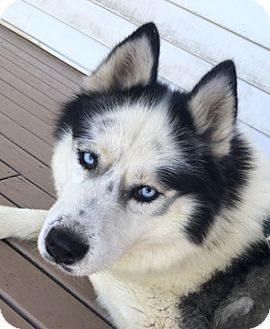Cincinnati Oh Siberian Husky Meet Icy A Dog For Adoption