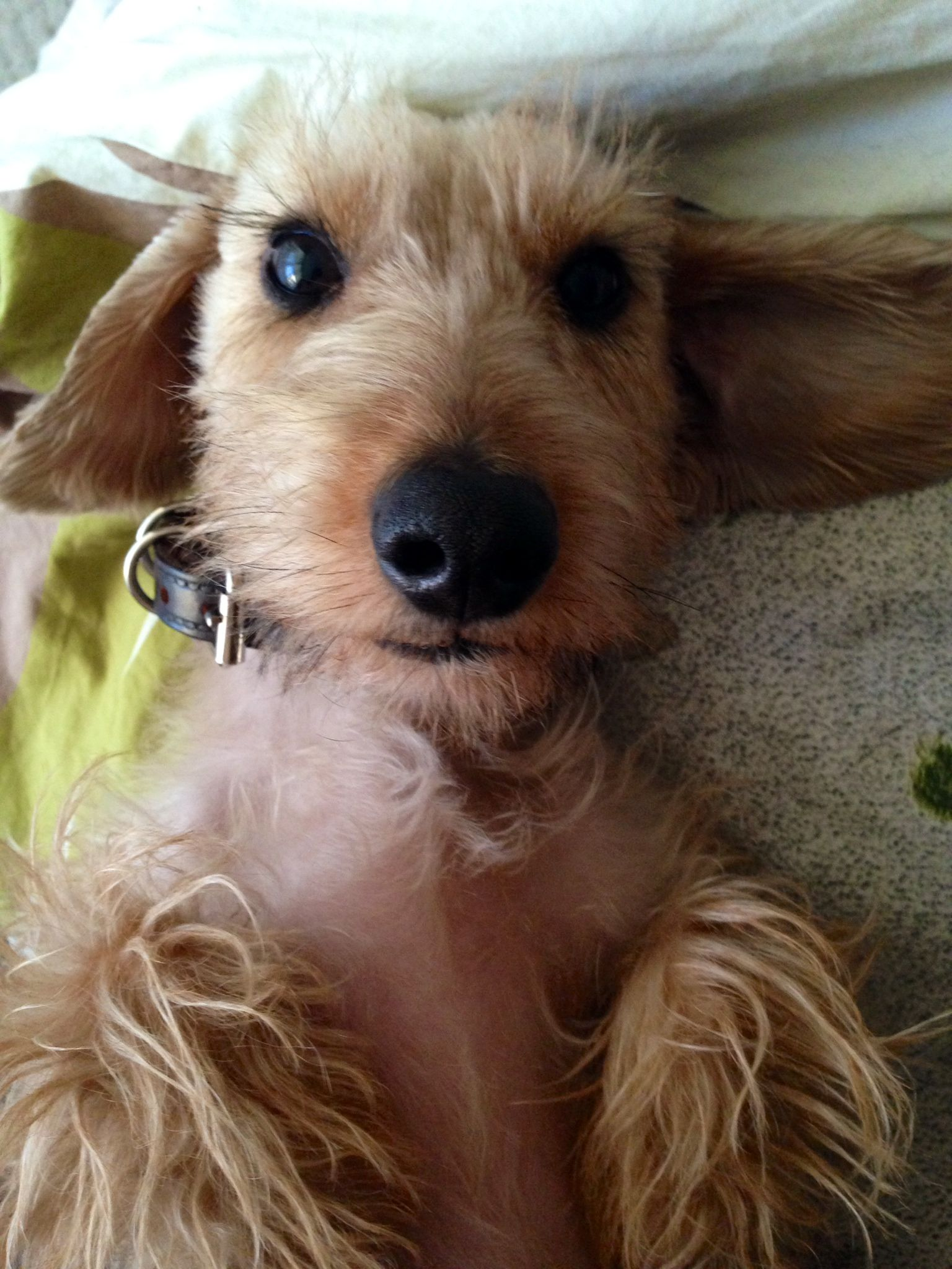Little Doll With Big Eyelashes Wire Haired Dachshund Wiener Dog