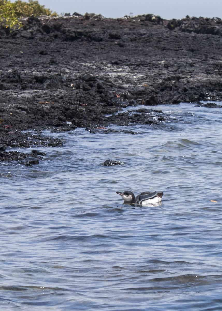 43 Galapagos Penguin Facts Tropical Guide (Spheniscus