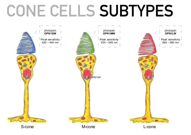 CONE CELLS- Cone cells are at the heart of our color perception; they  selectively respond to specific colors. There are three type… | Cone cell,  Color theory, Color