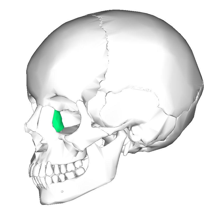 Lacrimal bones: 2 bones. Medial walls of orbit . Contain lacrimal ...