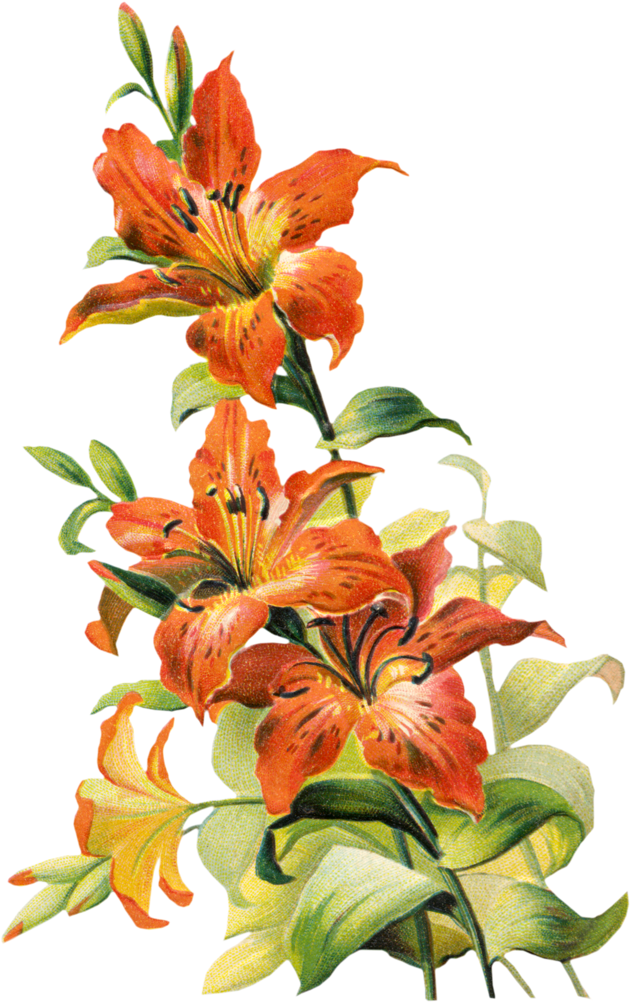 Free Vintage Tiger Lily Flower Lilies drawing, Tiger