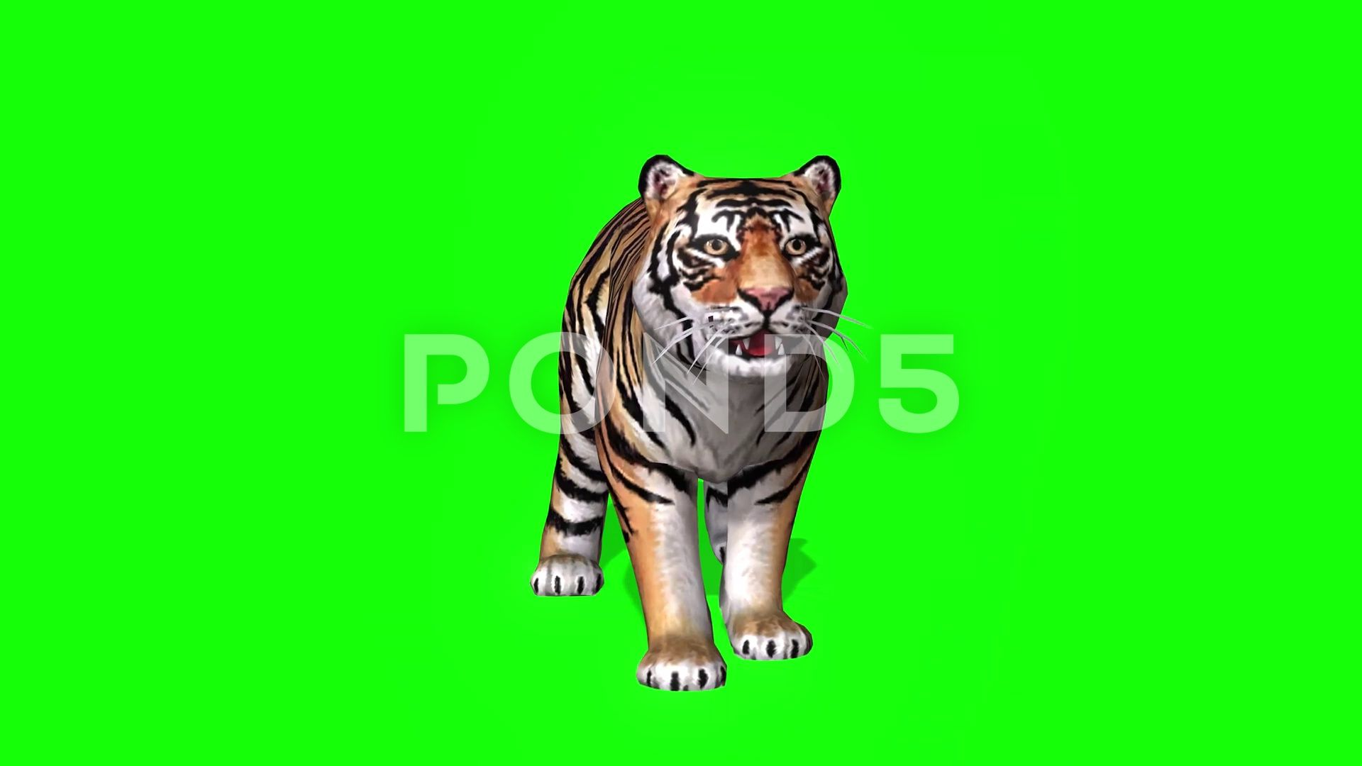 3d Kid Bengal Tiger Front View On Green Screen Stock Footage Ad Tiger Front Kid Bengal Wild Cats Bengal Tiger Feline