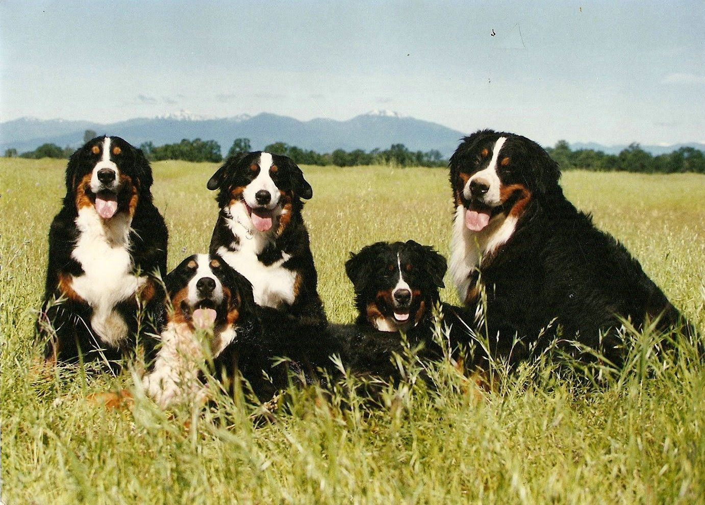 Love Me Some Bernese Mt Dogs Dogs That Are Beautiful