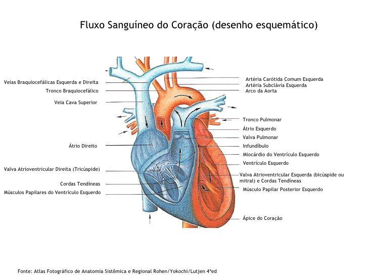 Fluxo Sanguíneo do Coração (desenho esquemático) Veias ...