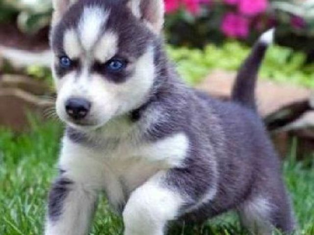 What Dog Is In Your Soul Cute Husky Puppies Husky Puppy Cute Husky