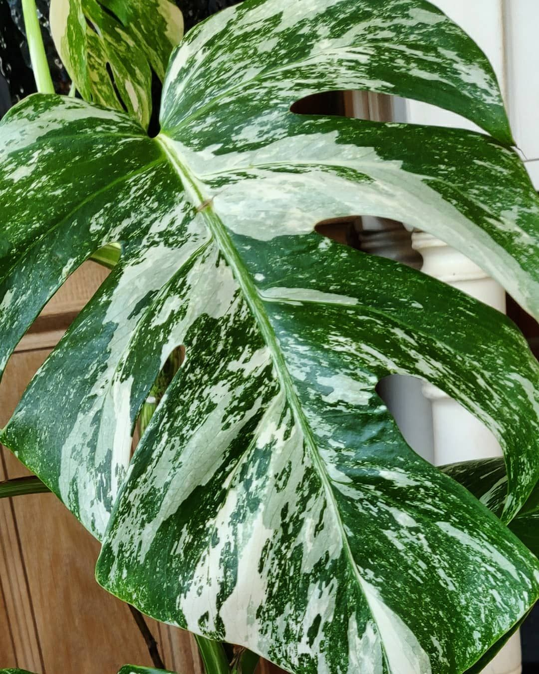 In love with the monstera under my bed 🤣 . . . . ⠀⠀⠀⠀⠀⠀⠀⠀⠀ #plantaddict #hangingplants#climbingplant...