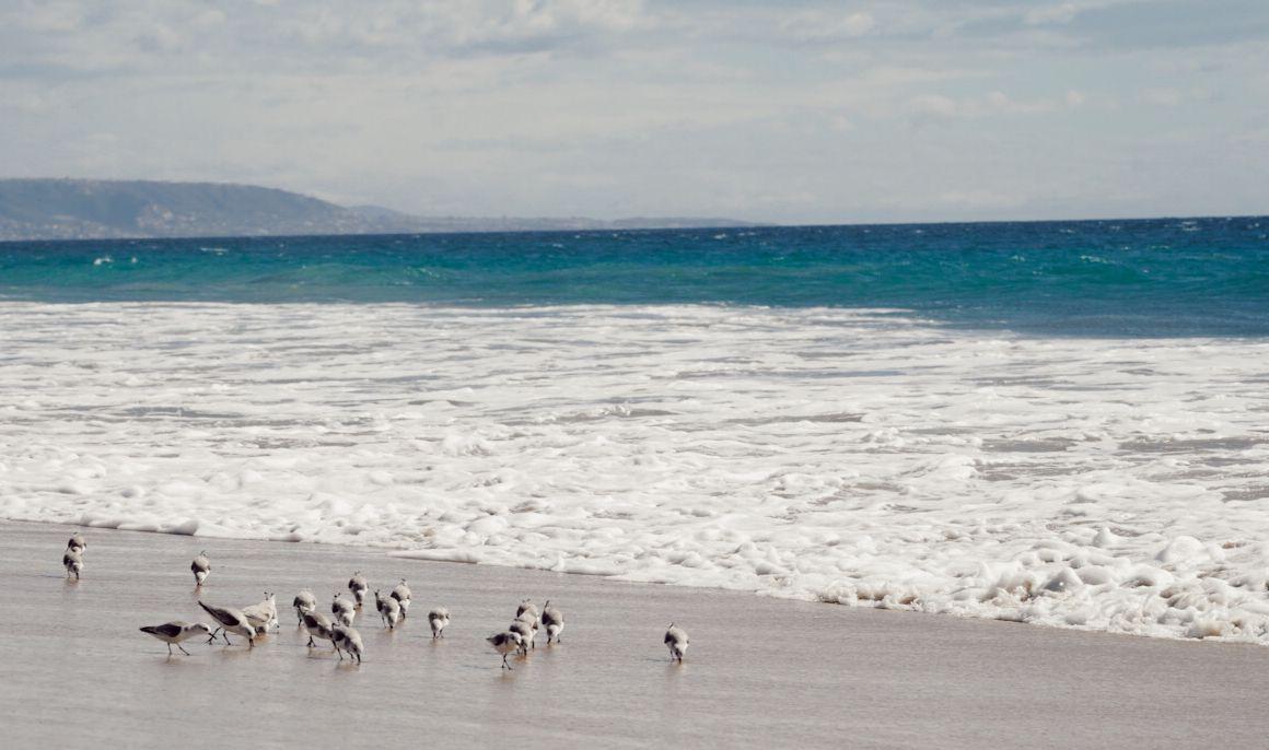 #birds #birdsofinstagram #beachlife #beachlifestyle #ocean #oceanart #oceanphotography #blueocean #lifestyle #socal #southerncalifornia #socallifestyle #beachbabe