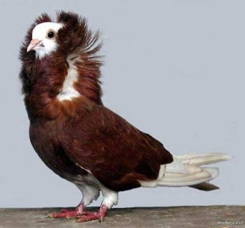 Capuchina Holandesa Pigeon Breeds Types Of Pigeons Pigeon