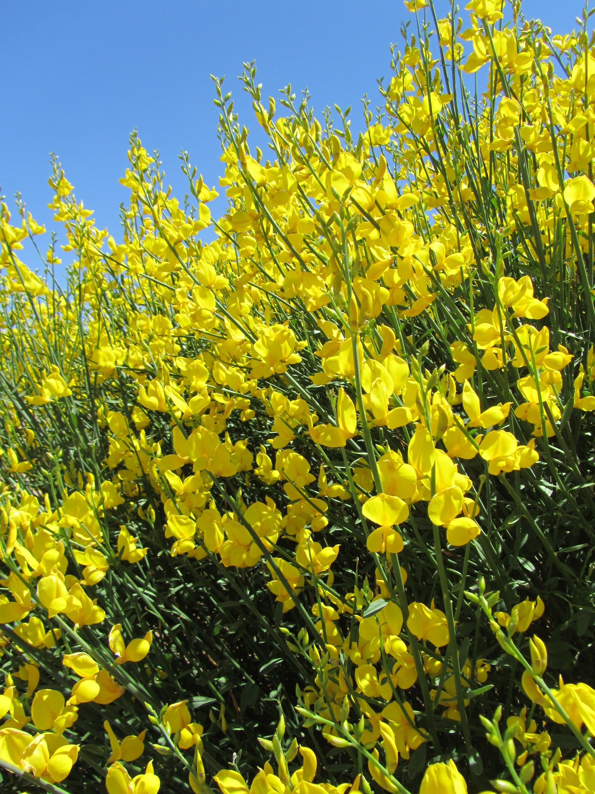 Spanish Broom In New Mexico Outdoor Plants New Mexico Planting Flowers