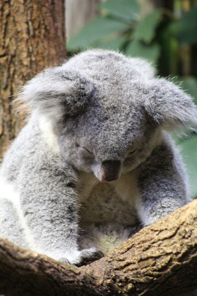 Just a sleepy little koala  #Music #IndieArtist #Chicago #facecare
