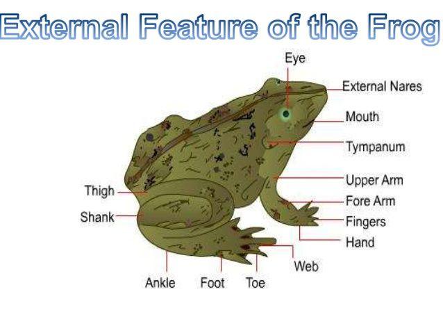 Internal Frog Diagram Electrical Wiring Diagrams