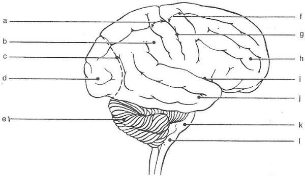 Print Exercise 19 Gross Anatomy Of The Brain And Cranial Nerves