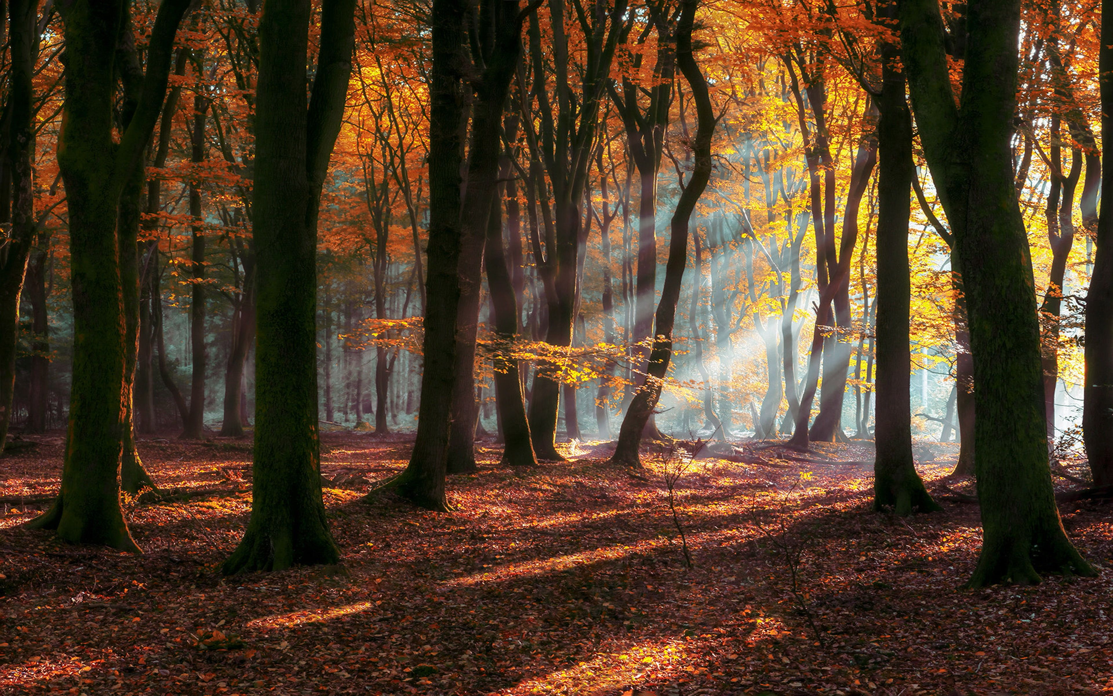 Morning Autumn Sun Rays Forest Deciduous Trees With Yellow And Red Leaves Landscape Nature Hd Wallpaper For Desktop Laptop Table Deciduous Trees Nature Hd Tree Wallpaper rays of light trees autumn