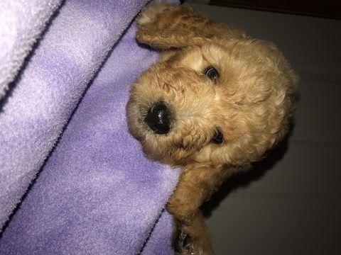Melanie Female Goldendoodle For Sale Near Fort Wayne Indiana Goldendoodle Puppy Finder Dog Cages For Sale