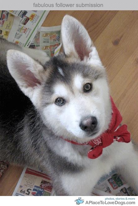 Aww Perfection Half Husky Half German Shepherd Puppies Cute