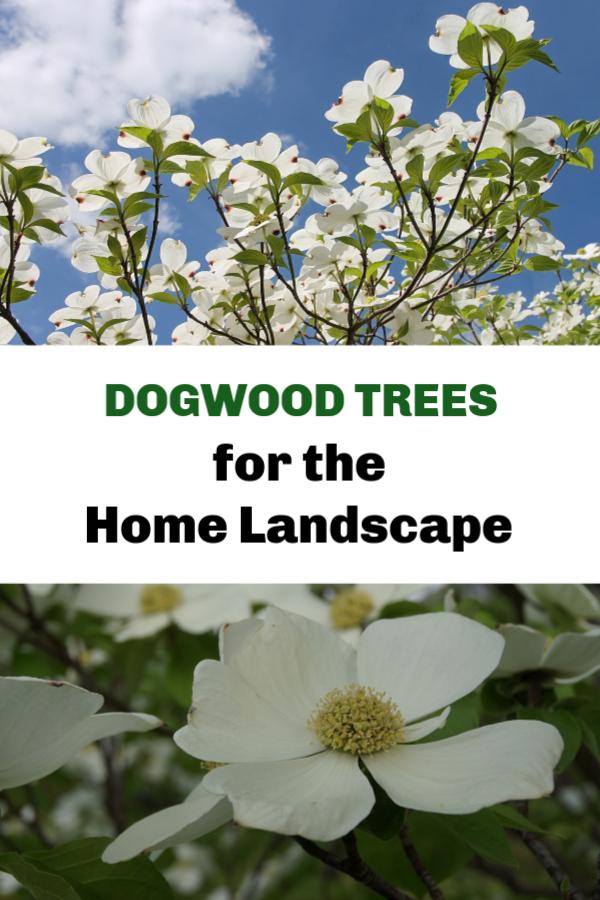 Dogwood Trees For The Home Landscape Dogwood Trees Landscape