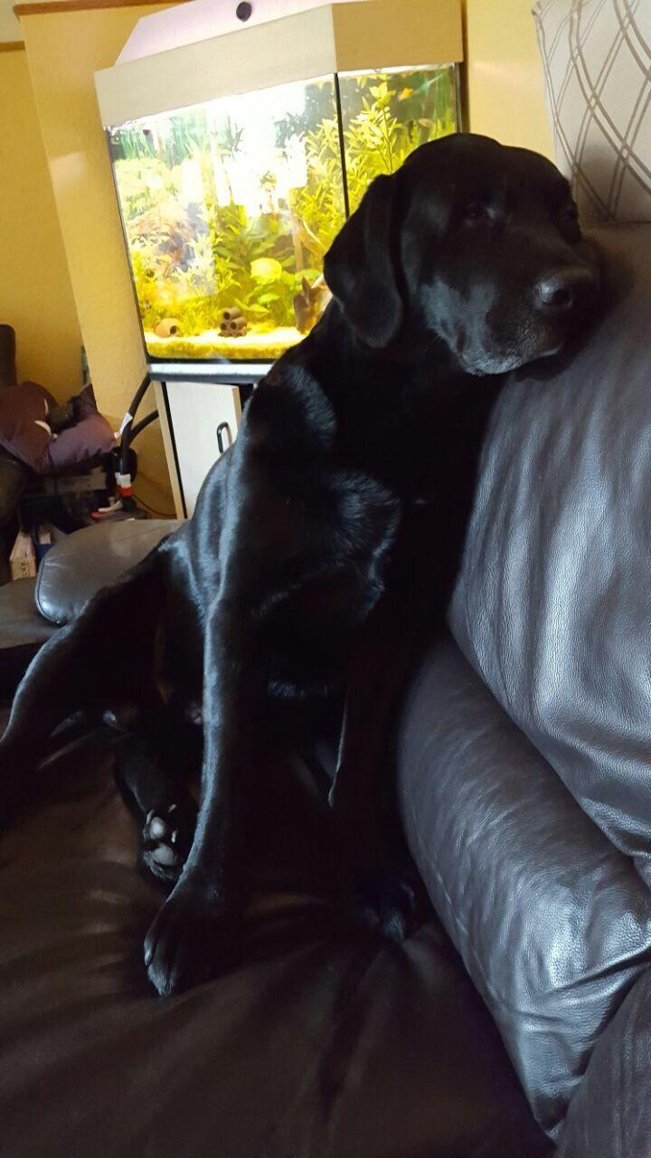 Hannibal Black Labrador Dog Dogs Labrador Retriever