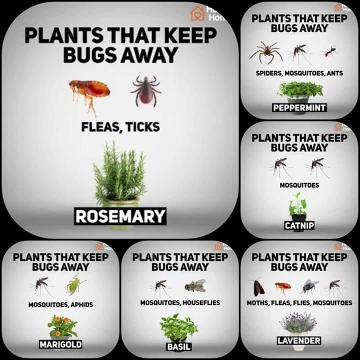 Plants to keep bugs away | Mosquito repelling plants ...