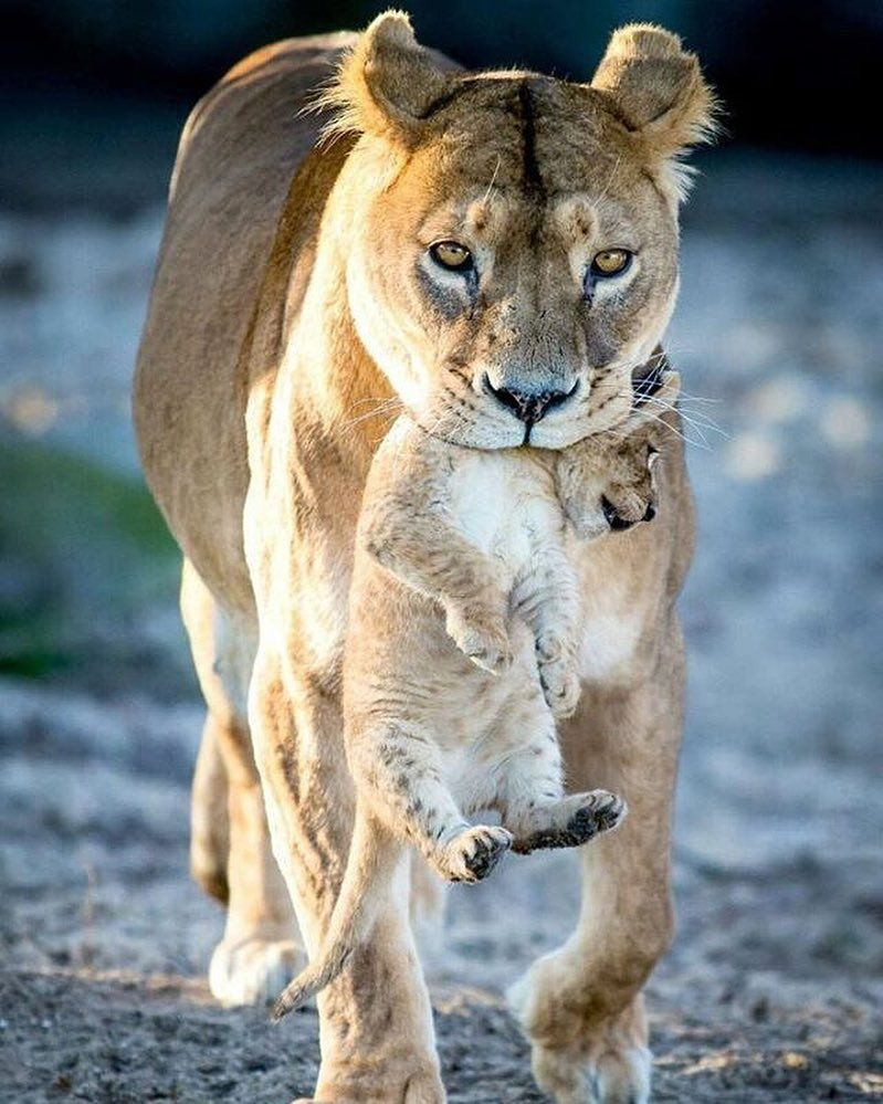 Follow @destination_wild for more amazing animals photos & videos!Proud Mom |  Photography by Frank Ronsholt by nature.geography